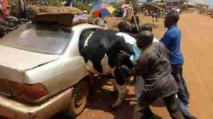 See How A Big Cow Was Forced Into A Small Car Ahead Of Sallah Celebration (Photos)